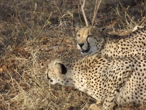Fig. 4: Successful location of the cheetah boys