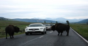 Two bison cause a traffic jam on the main road running through Yellowstone
