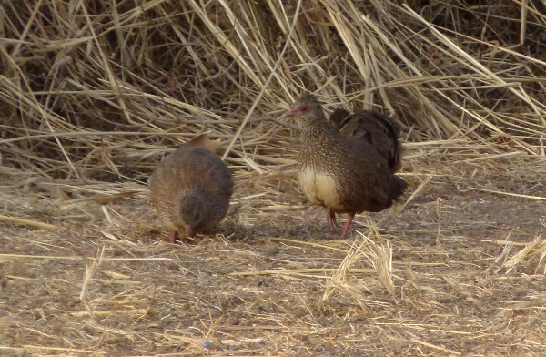 Stone Partridges. They look like cute little bantam chickens, but they will make your ears bleed!
