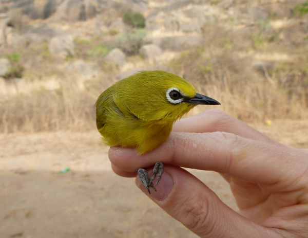 Yellow White-eye. Does what it says on the tin, but the bird itself is far more elegant than the prosaically descriptive name.