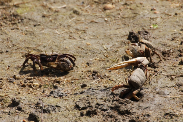 male fiddler crab arm waving to a femaleWEB