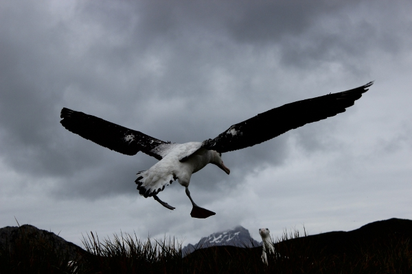 A Wandering Albatross coming in to land on Wanderer Ridge (photo by Cian Luck)