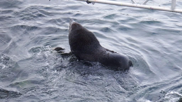 A male fur seal stubbornly defending his territory against the tide on SSB (photo by Cian Luck)