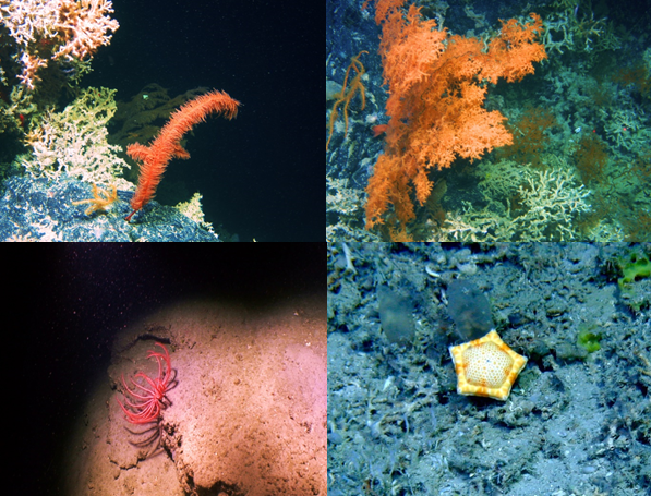 A collection of some of the images gathered from the Moira Mounds; Top left: Flytrap deep sea anemone, Lophelia pertusa and glass sponges, Top right: Lophelia pertusa (pale pink) and deep sea cnidaria, soft coral (Alcyonacea [red]), Bottom Left: sea urchin, dead Lophelia pertusa and gorgonocephalus (on top of Lophelia pertusa), along with more glass sponges (white/transparent), Bottom right: deep sea fish surrounded by living and dead Lophelia pertusa