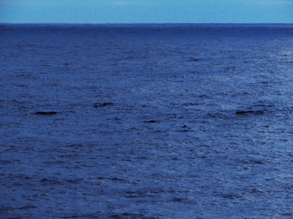 Pilot whales investigating the Celtic Explorer on their travels!>